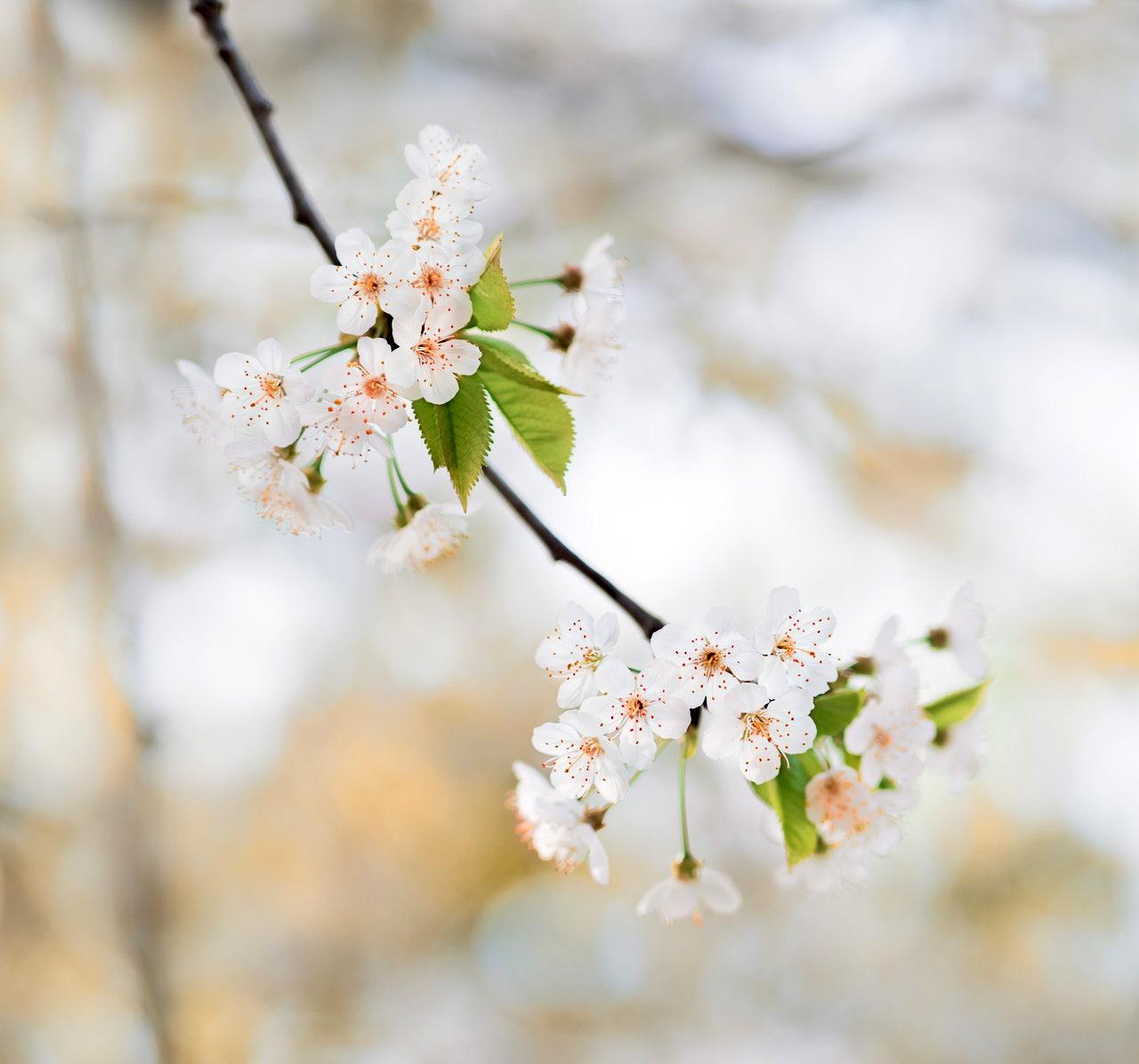 Fleur d'un cerisier
